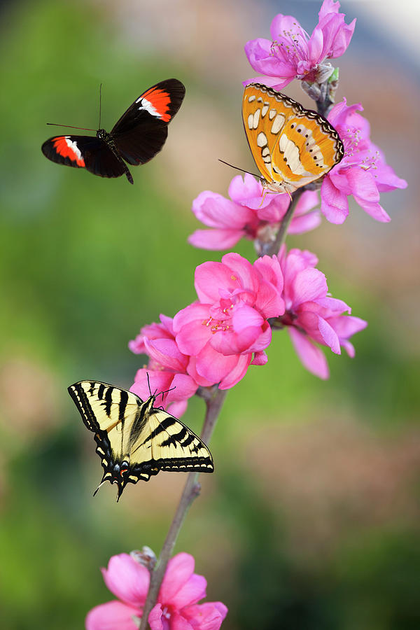 Three Butterflies On Cherry Blossoms Photograph by Susangaryphotography