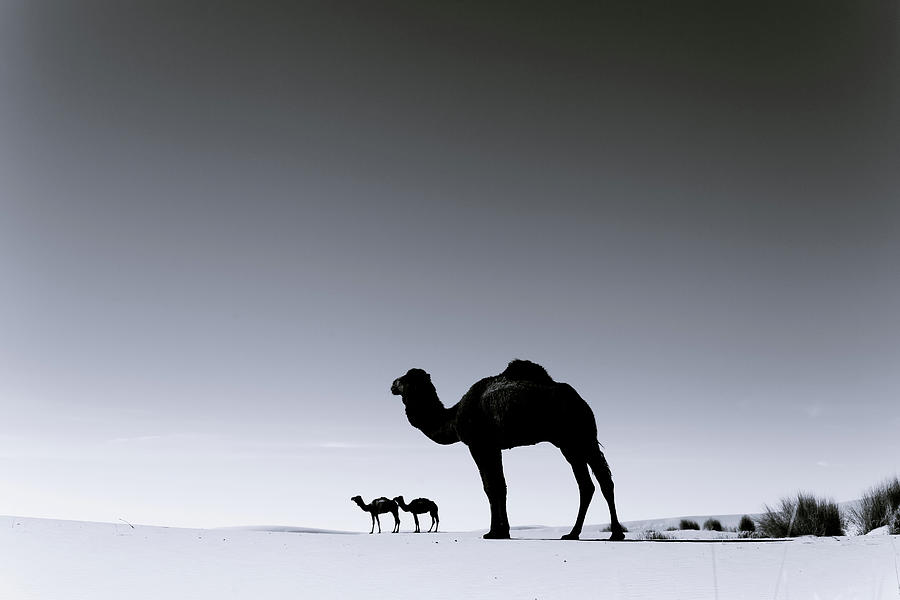 Three Camels In The Sahara Desert Photograph by Zodebala