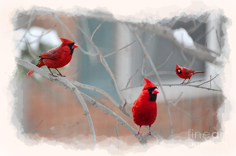 Cardinal Photograph - Three Cardinals In A Tree by Dan Friend
