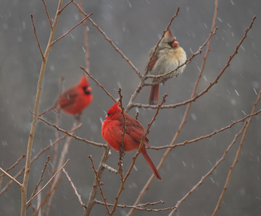 Birds Photograph - Three Cardinals by Shell Ette