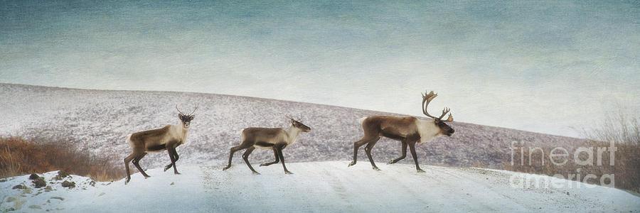 Animal Photograph - Three Caribous by Priska Wettstein