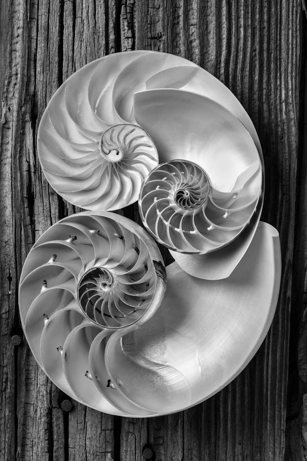 Shell photograph three chambered nautilus in black and white by garry gay