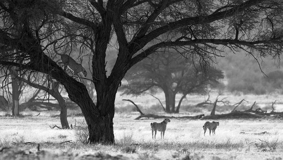 Cheetah Photograph - Three Cheetahs by Max Waugh