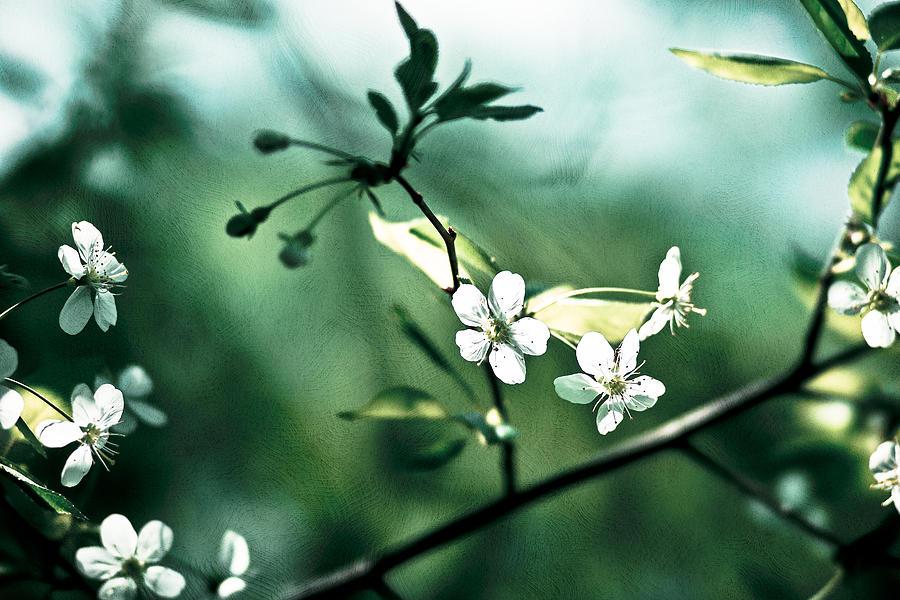 Flower Photograph - Three Cherry Flowers - Featured 3 by Alexander Senin