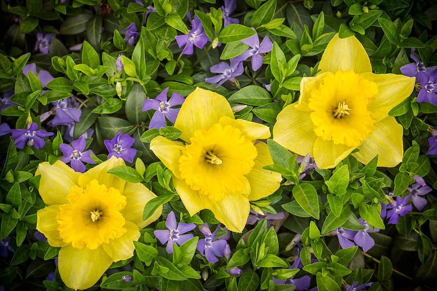 Three Daffodils In Blooming Periwinkle Photograph