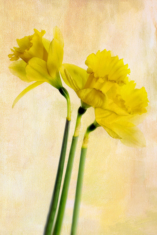 Flowers Photograph - Three Dafs by Rebecca Cozart