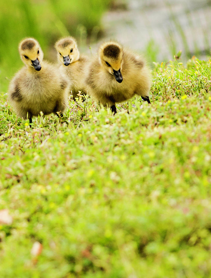 Three Day Old Goslings Photograph by Catlane