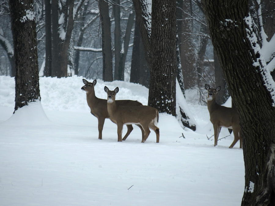 Three Deer in Park by Eric Switzer