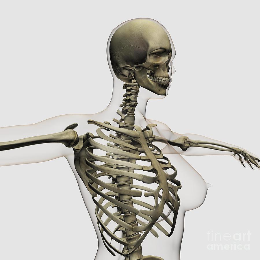 Skeleton Digital Art - Three Dimensional View Of Female Rib by Stocktrek Images