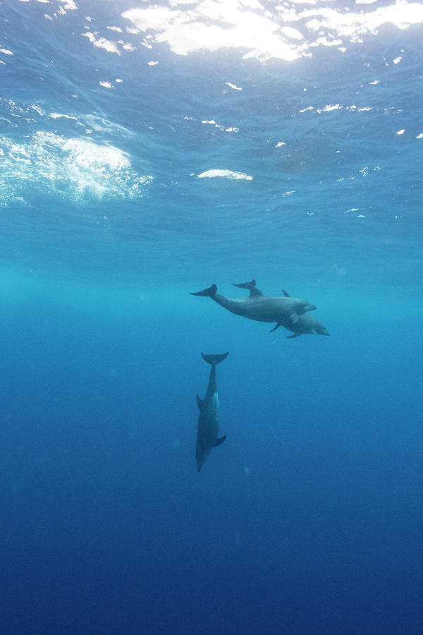 Nobody Photograph - Three Dolphins Swimming Underwater by Kay Vilchis