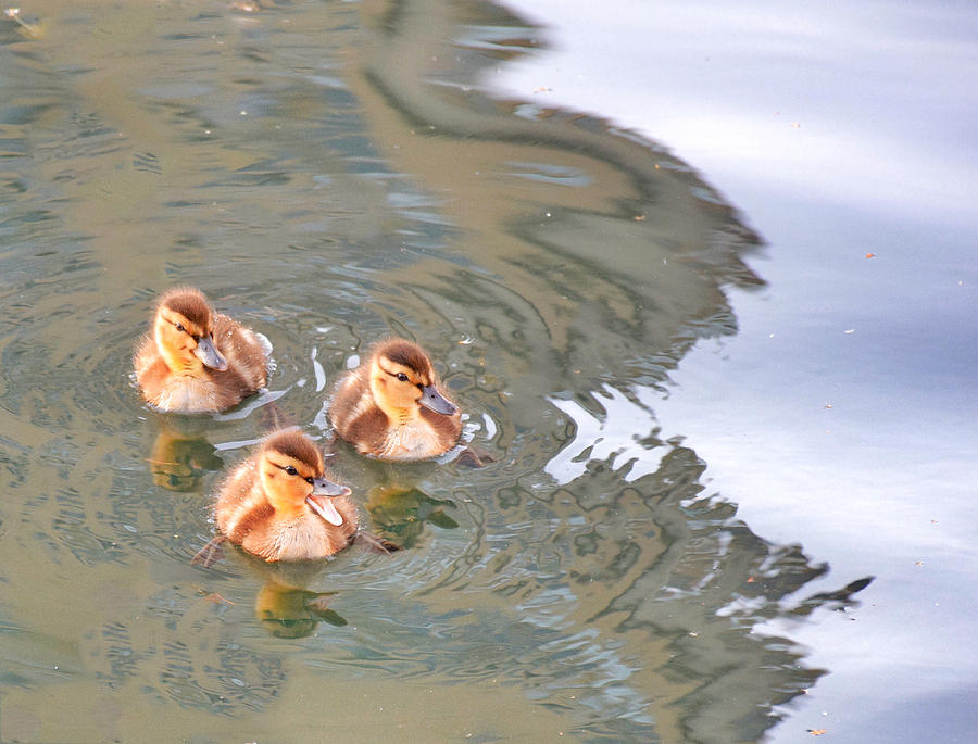 Three Ducklings Swimming In Lake Photograph by Juliak