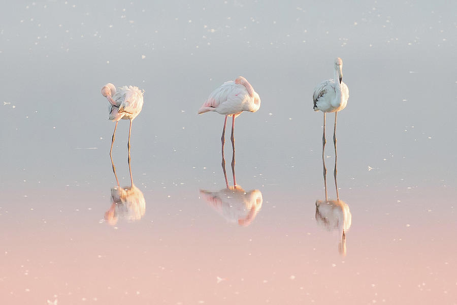 Nature Photograph - Three Flamingos ... by Natalia Rublina
