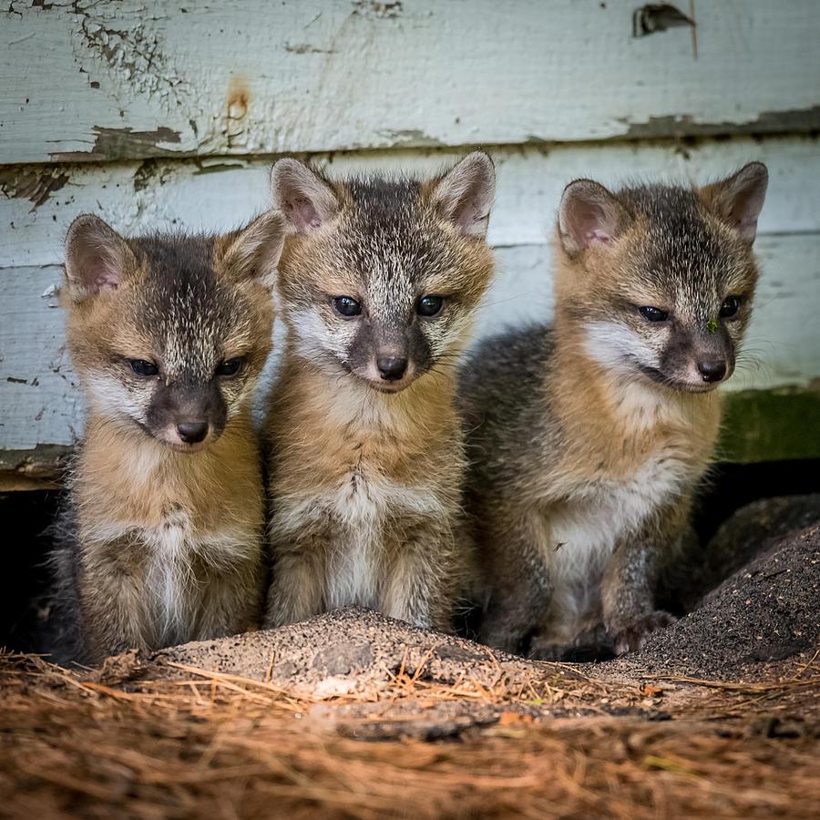 Fox Photograph - Three Fox Kits by Paul Freidlund