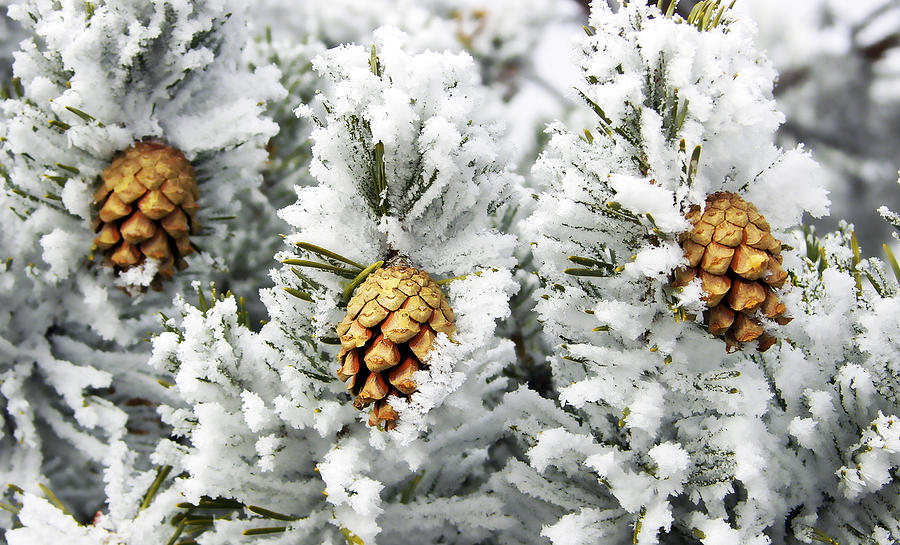 Three Photograph - Three Frosty Cones by Marilyn Hunt
