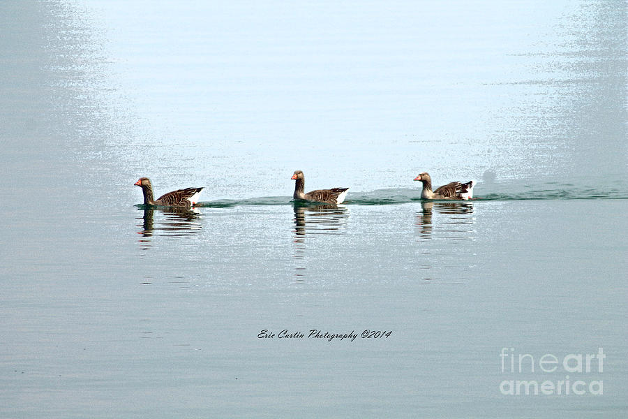 Geese Photograph - Three Geese A Swimmin by Eric Curtin
