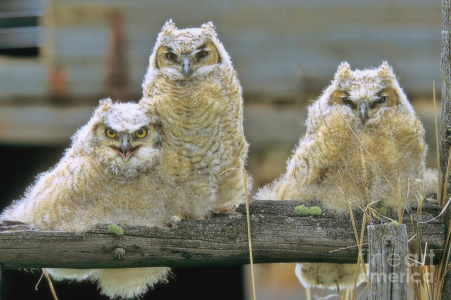 Three Great-horned Owl Chicks Photograph