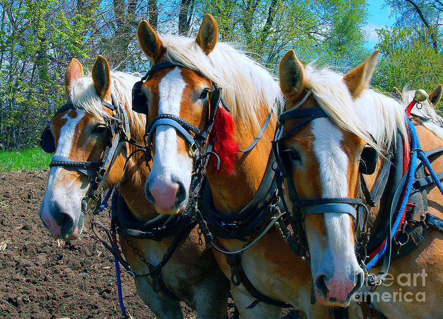 Three Horses Break Time  by Tom Jelen