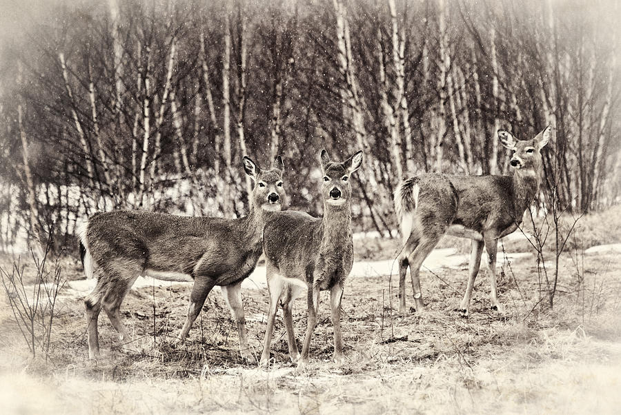 Deer Photograph - Three In The Field by Susan Capuano