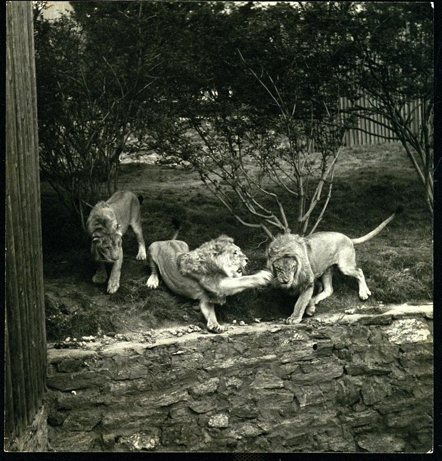 Three Lions At The Bronx Zoo In New York Photograph by Toni Frissell