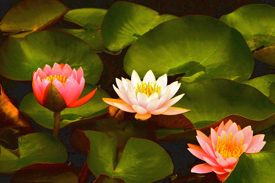 Three Lovely Gracious Waterlilies Photograph - Three Lovely Gracious Waterlilies by Byron Varvarigos