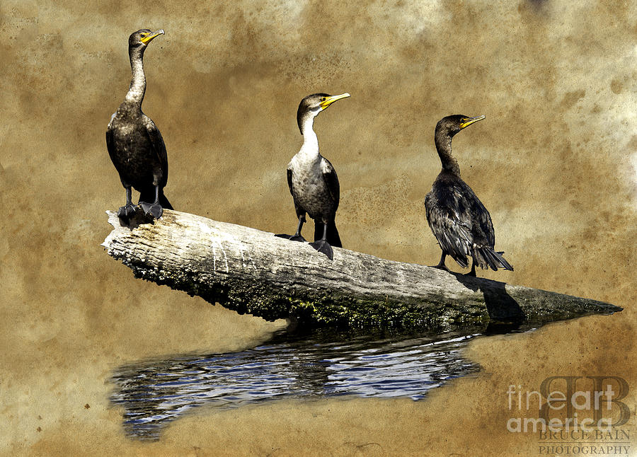 Birds Photograph - Three Musketeers by Bruce Bain