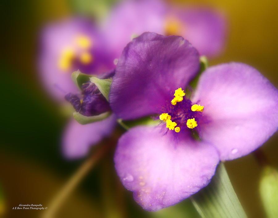 Three Photograph - Three Petals Of Purple by Alexandra  Rampolla