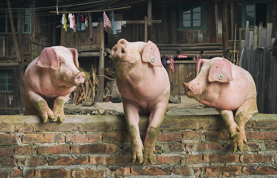 Three Pigs Having A Chat In A Remote Photograph by Mediaproduction