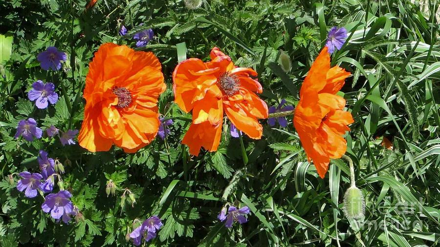 Poppies Photograph - Three Poppies by Claudette Bujold-Poirier