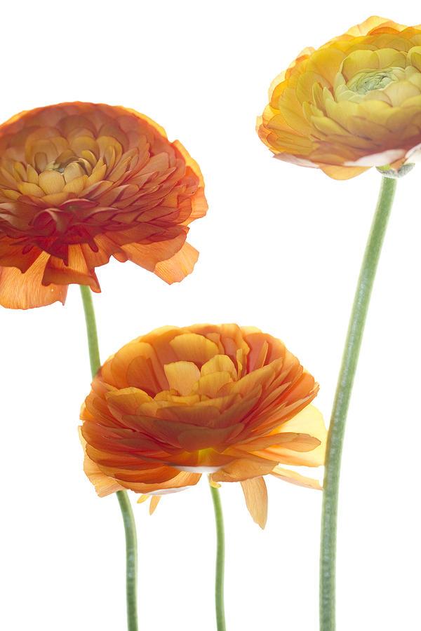 Ranunculus Photograph - Three Raunuculus by Rebecca Cozart