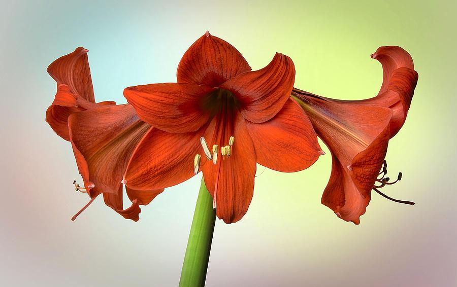 Amaryllis Photograph - Three Red Amaryllis by Bob Mulligan