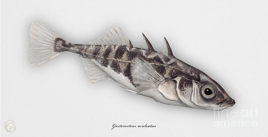 Three-spined Stickleback Gasterosteus Aculeatus - Stichling - Lepinoche - Espinoso - Kolmipiikki Painting