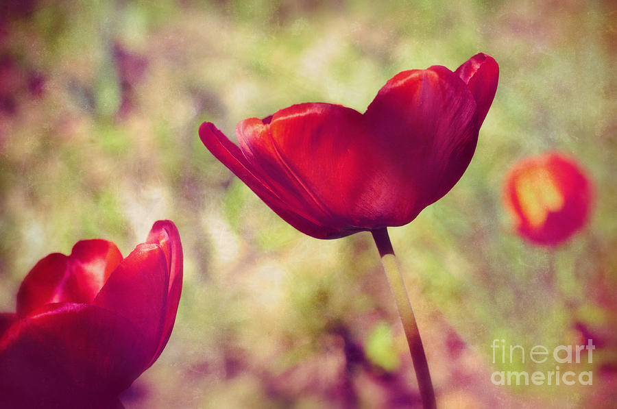 Tulips Photograph - Three Tulips by Silvia Ganora