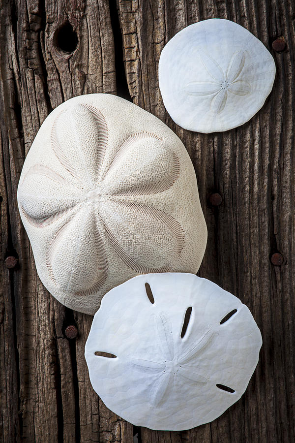 Sand Dollars Photograph - Three Types Of Sand Dollars by Garry Gay
