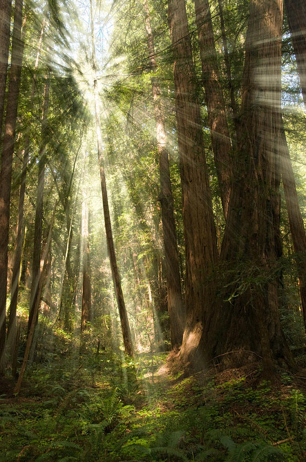 Muir Woods Photograph - Through The Trees by Mick Burkey