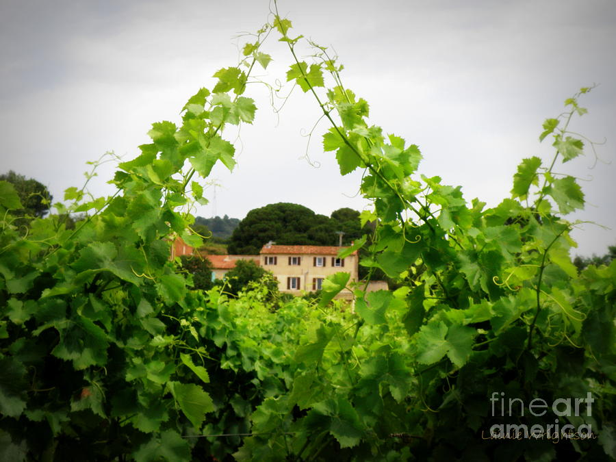 Vineyard Photograph - Through The Vines by Lainie Wrightson