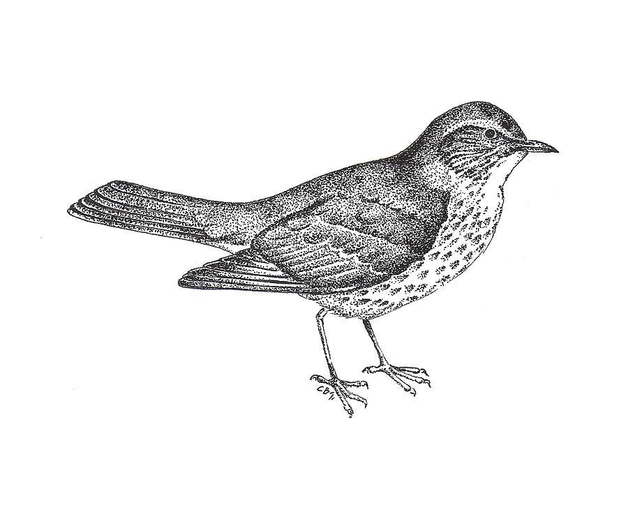 Thrush Bird Drawing Drawing