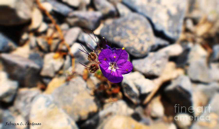 Desert Flower Photograph - Thumb Tack Beauty by Rebecca Christine Cardenas