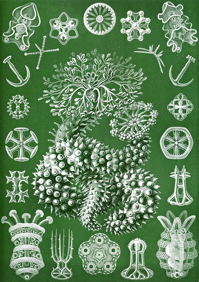 Echinoderms Drawing - Thuroidea From Kunstformen Der Natur by Ernst Haeckel