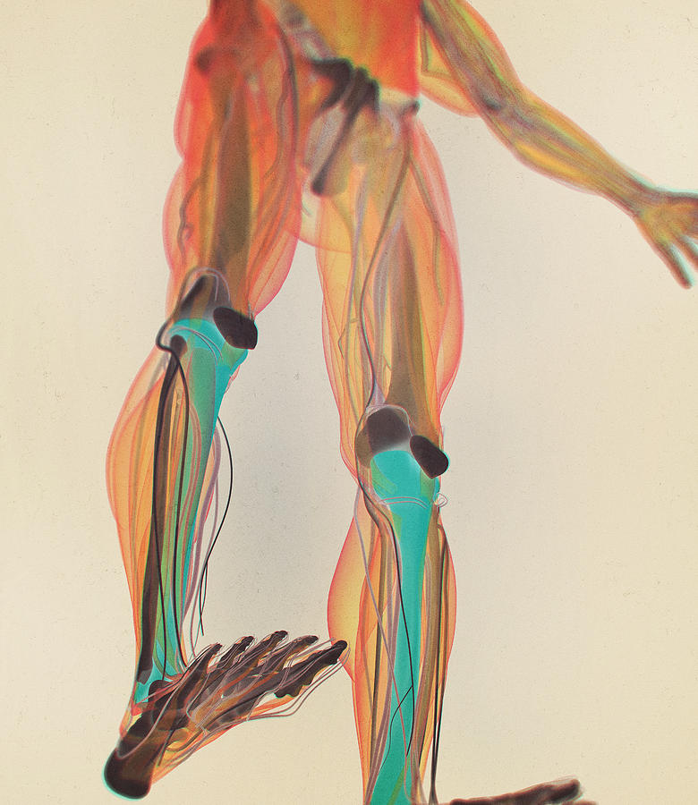 Tibia Bone, Human Anatomy  3d Illustration  by ChrisChrisW
