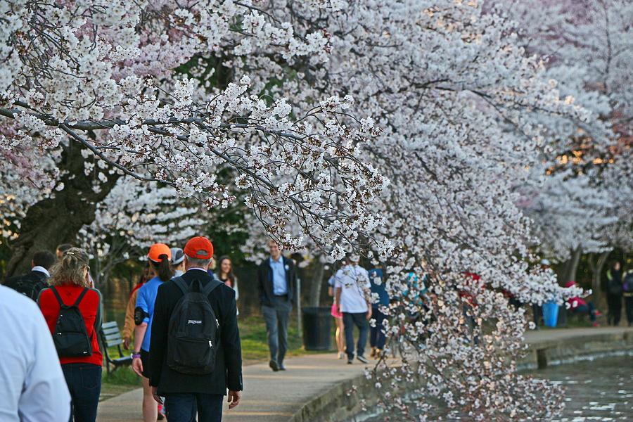 Tidal Basin Cherry Blossoms Photograph