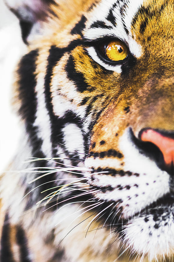 Tiger Photograph by Deimagine