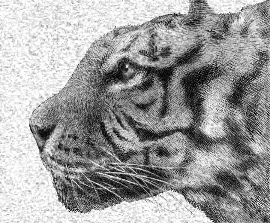 Tiger Drawing - Tiger by Eric Fan