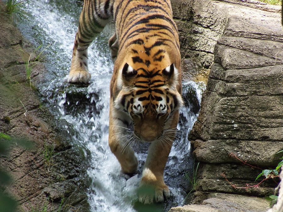 Tiger Photograph - Tiger In The Waterfall by Adam L