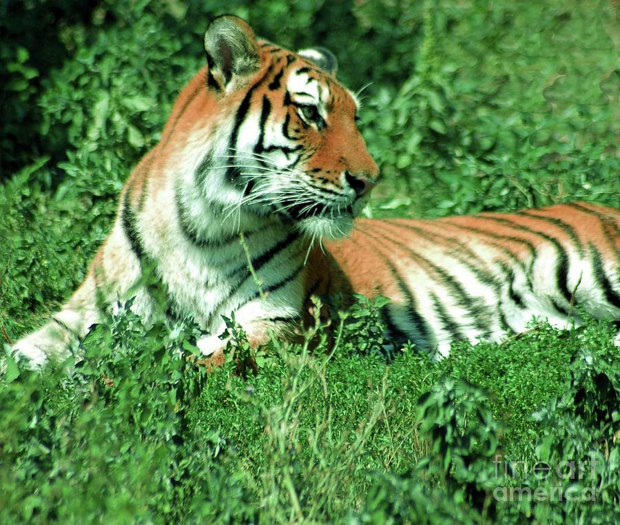 Tiger Photograph - Tiger by Kathleen Struckle