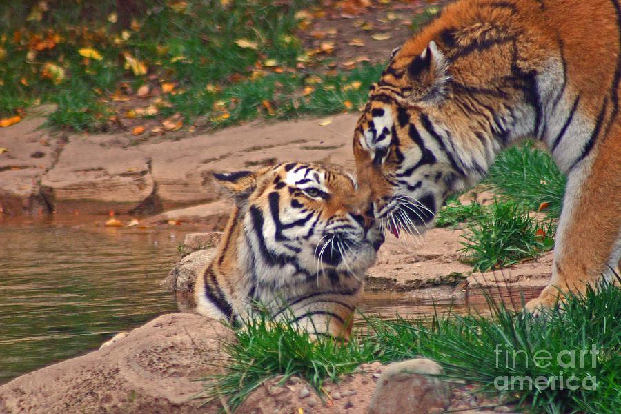 Zoo Photograph - Tiger Kiss by David Rucker