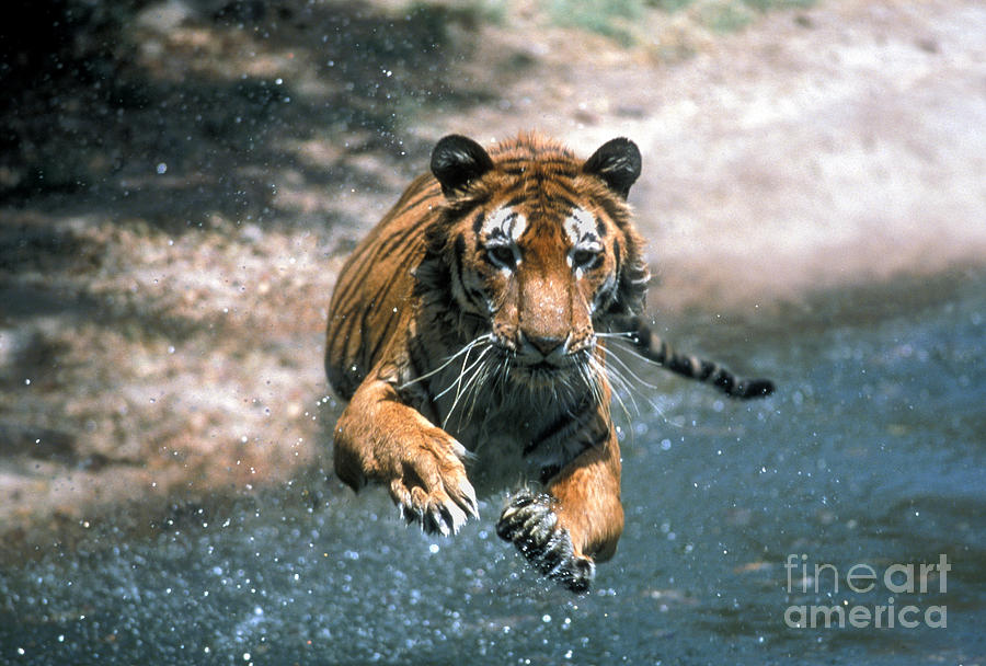 Animal Photograph - Tiger Leaping by Mark Newman