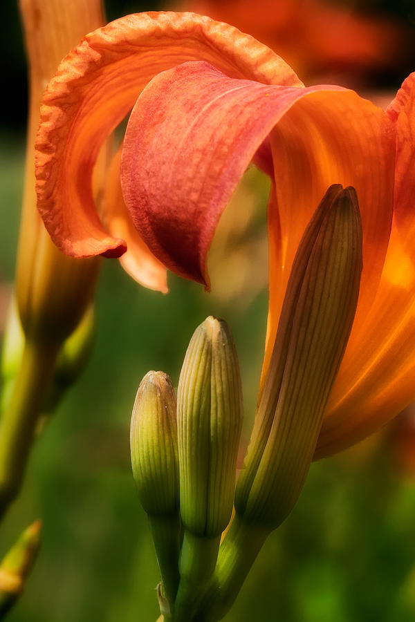 Lilly Photograph - Tiger Lilly by Bill Wakeley