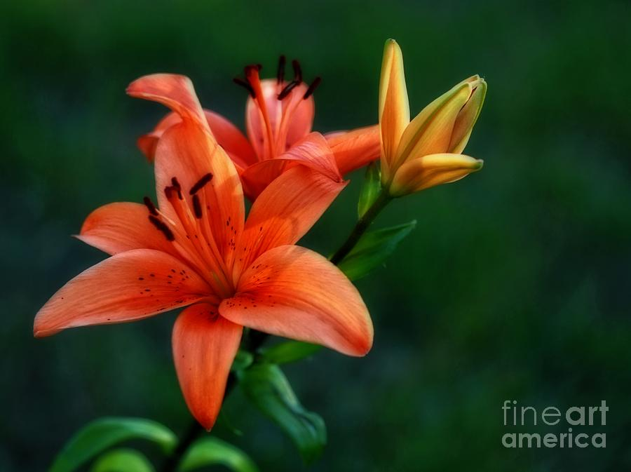 Tiger Lily Photograph - Tiger Lily Enchantment  by Inspired Nature Photography Fine Art Photography
