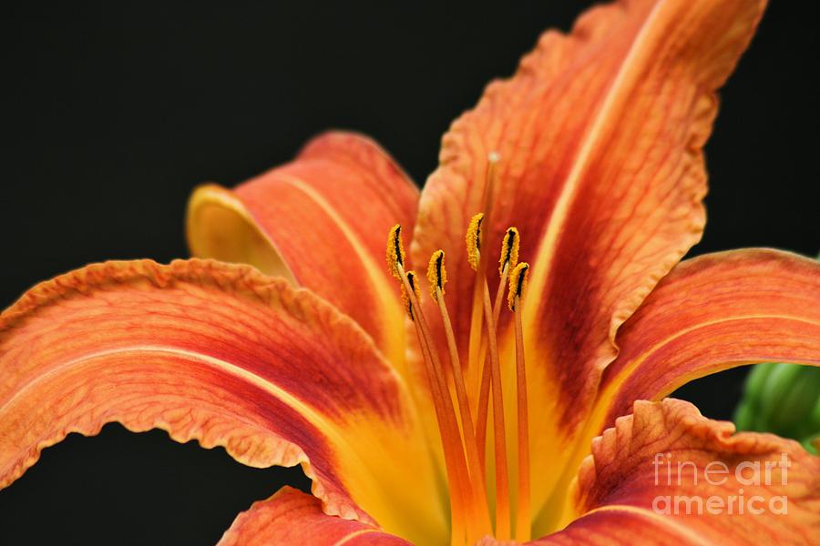 Tiger Lily by Stan Reckard