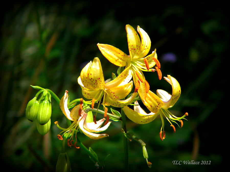 Atlanta Photograph - Tiger Lily by Tammy Wallace